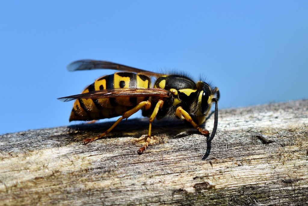 hornet, insect, wasp
