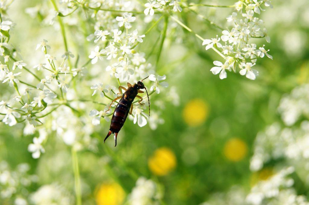 ohrenhoehler, earwig, insect