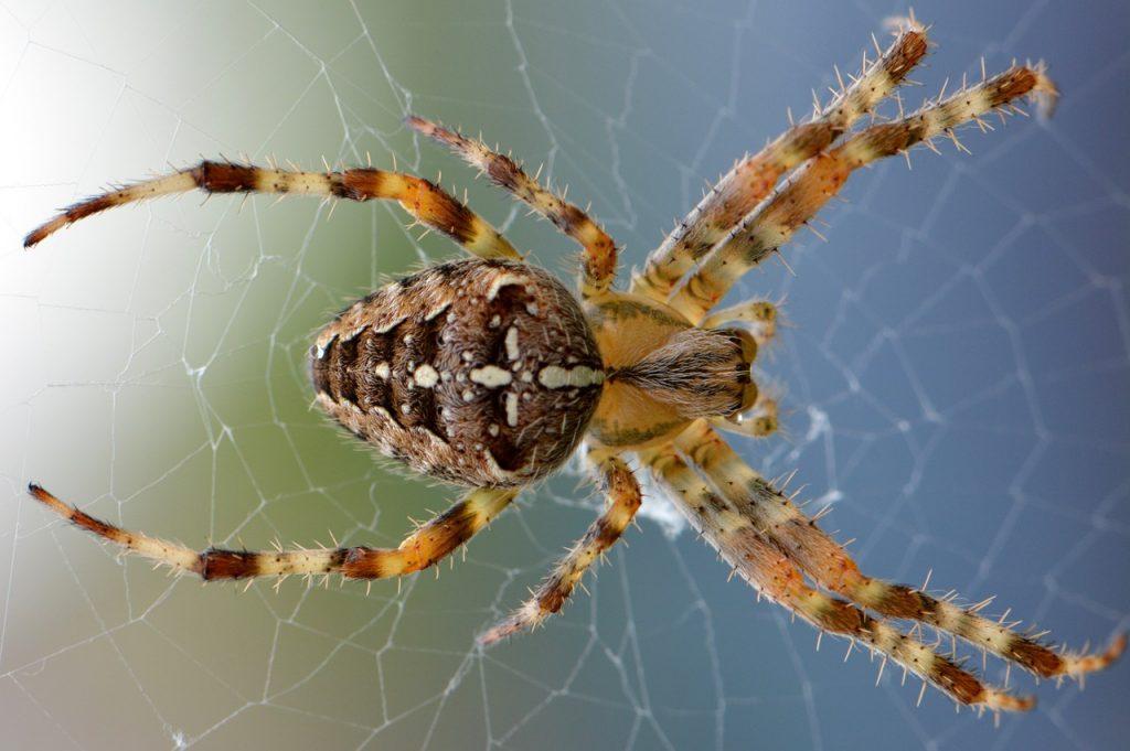 spider, arachnid, spider web