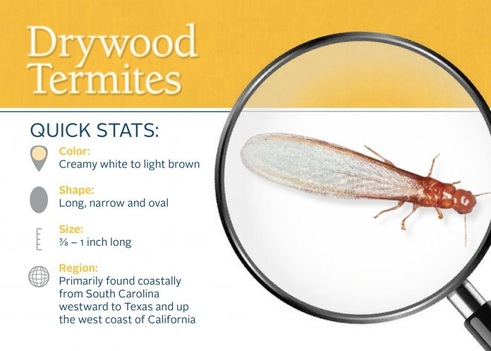 drywood termite info